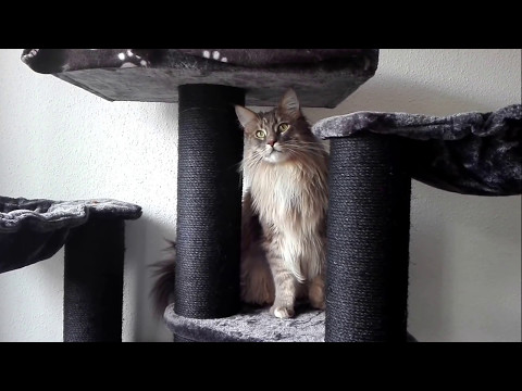 Maine-Coon Jasper playing with his new cat tree.