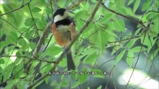 ヤマガラ:山雀:Parus varius-神戸市-2017 06 15