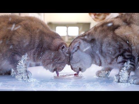 무더운 날! 얼음그릇에 간식을 담아줬더니 고양이들 반응은?