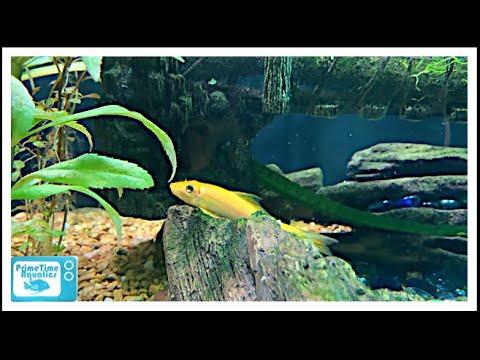 Chinese Algae Eater Species Profile
