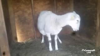 lamb being born live