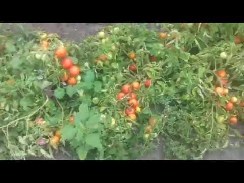 Сорт томатов Санька  и Ляна ,а также  Дебарао  Царский,Большая  девочка ,  Фатима | красный | томаты | санька | огород | ляна