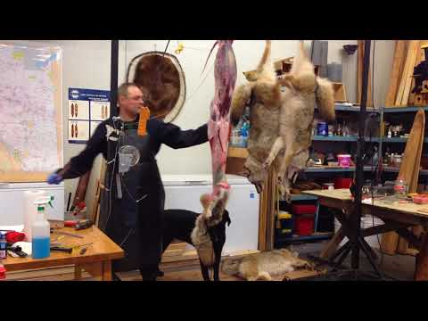 Part 1 Skinning a coyote