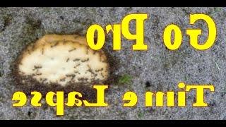 Cracker Filled Butter Peanut  Devour Ants - Pro Go - Lapse Time