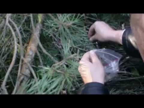 Вопрос: Почему на некоторых деревьях вороны не делают гнёзда?