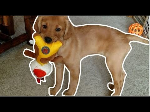 April Monthly Tip - Basic Hunting Training For Golden Retriever Puppy
