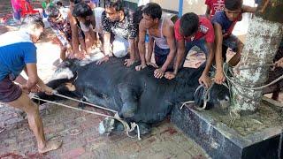 Big Cow Qurbani Bangladesh 2021, Part-20