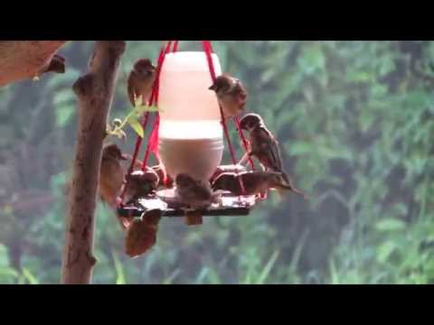Guests from the wild, the Philippine Sparrow