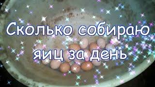 Сколько яиц собираю за сутки / субтитры