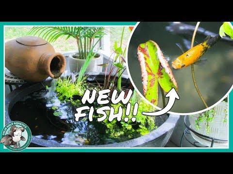 Adding Fish to My Patio Pond! Dalmatian & Balloon Mollies