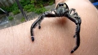 Biggest Jumping Spider EVER!! Is It You Lucas?? :D Watch Till The END!