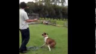 ***!!!***!!!*** Boxer Dog Training Tips: Stop Boxer From Jumping ***!!!***!!!***