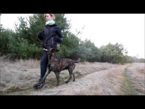 Avis - Obedience & Tricks (2year Old Dutch Shepherd)