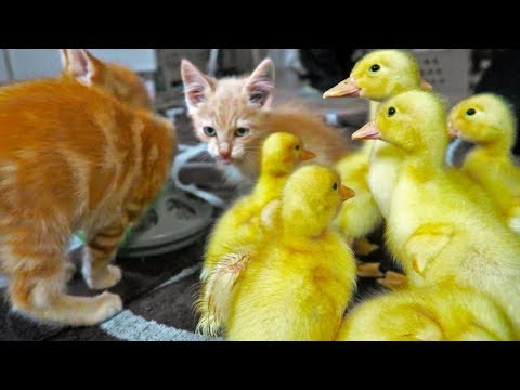 Ducklings meeting our Kittens (For Kids)