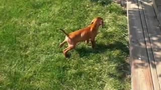 Vizsla Potty Training - Piper