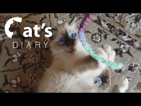 Birman cats in slow motion