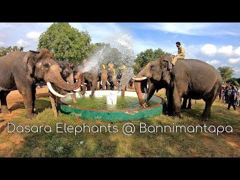 Dasara Elephants Playing At Bannimantapa Mysore Dasara 2018 || Mysore Dasara Elephants