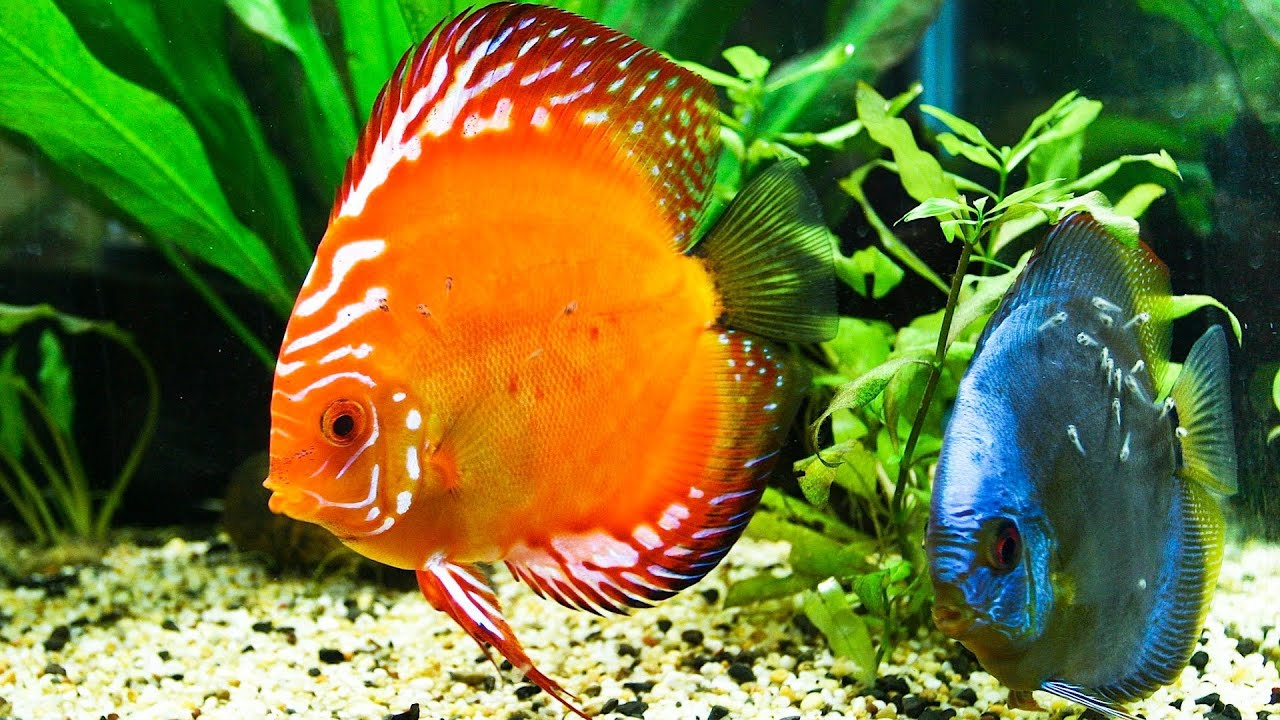 How to Control Ammonia in a Fish Tank
