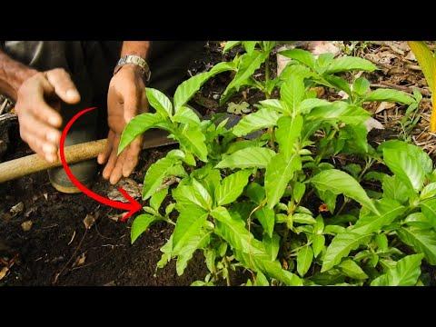 hierba kurtki para la diabetes