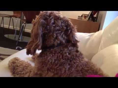 "Singing dog!  Cockapoo Herbie howls to Bruno Mars ""Uptown Funk"" *React*"