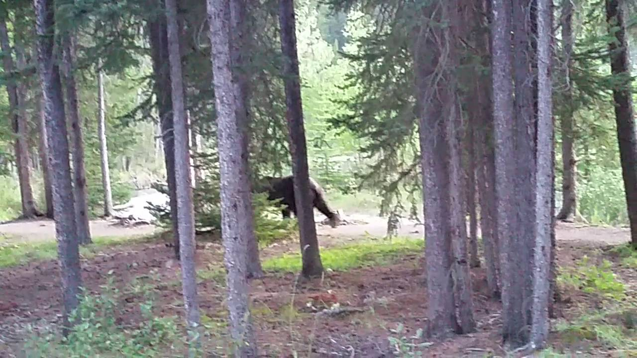 grizzly bear at lake louise campground  full