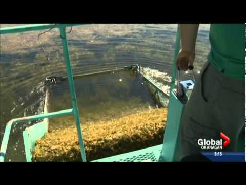 Global Okanagan August 8, 2014 - Abundance of Milfoil in Osoyoos