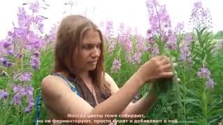 видео Трава Иван-чай