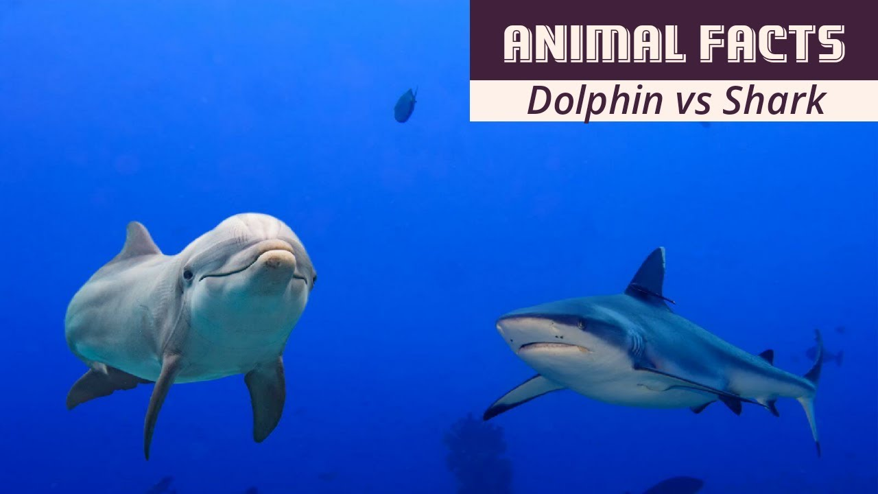 Top 10 Reasons Sharks Have Dolphin-Phobia