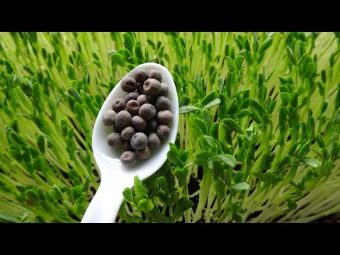 How to Grow Green Peas Shoots - Pea Sprouts
