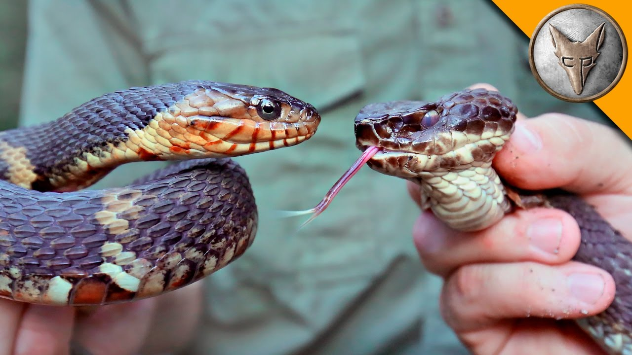 Cottonmouth vs Water S...