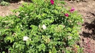 Роза морщинистая - посадка и уход с фото и видео