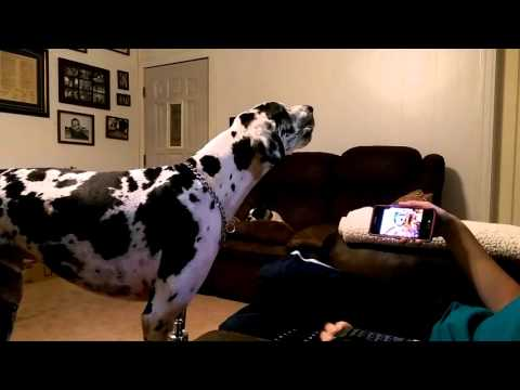 Gus the funny howling harlequin great dane