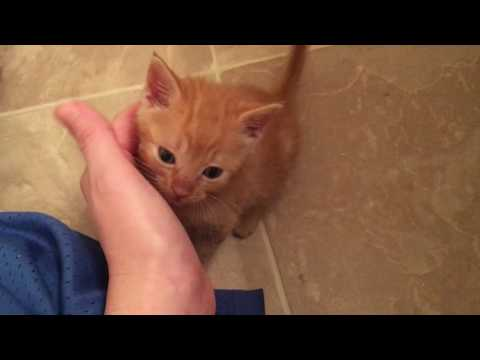 Transitioning 6 Week Old Foster Kittens from Bottles to Wet Food