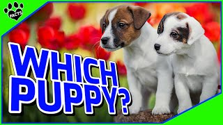 How To Pick A Puppy Out Of A Litter