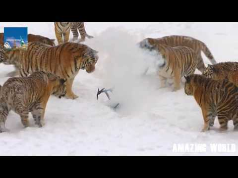 Siberian Tigers Take Down and Chew Up Drone : Tiger farm in China's Heilongjiang Province