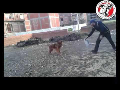 #تدريب كلاب .. شرح تفصيلي بالفيديو تعليم الكلب الحراسة والهجوم وتنمية الشراسة dog training HD