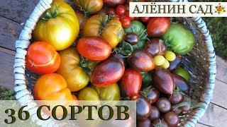 36 сортов томатов для теплицы / ЛУЧШИЕ ТОМАТЫ С ДЕГУСТАЦИЕЙ!!!