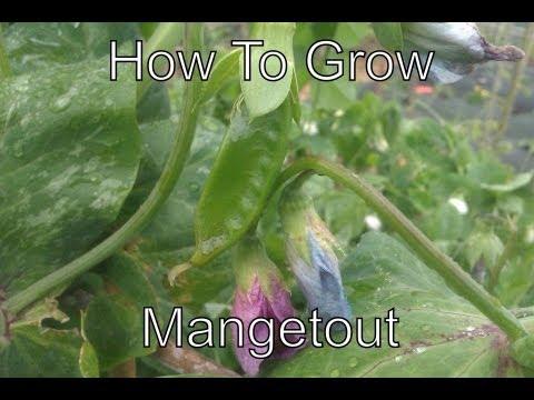 How to Grow Mangetout