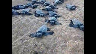 Nascimento de tartaruga 19/12/2015