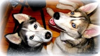 Siberian Husky Playing In Snow!  Shiloh & Puppy Shelby Flashback