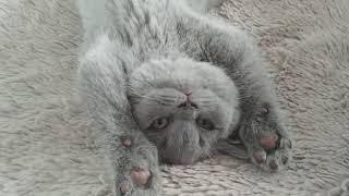 British Shorthair. My plan for today*cattery Calmcat British Shorthair