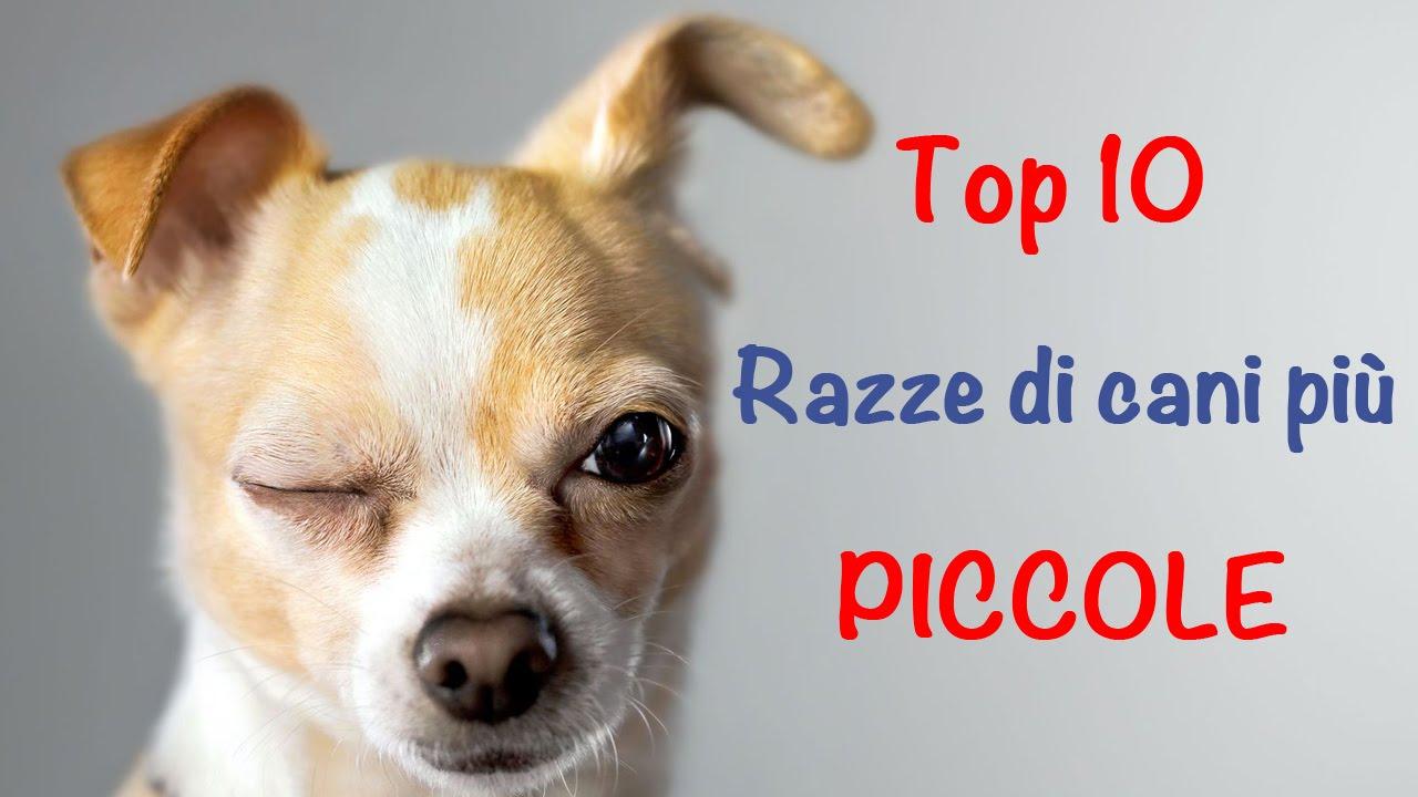 Top 10 delle razze di cani più piccole - YouTube