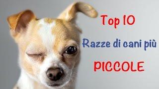 Top 10 delle razze di cani più piccole
