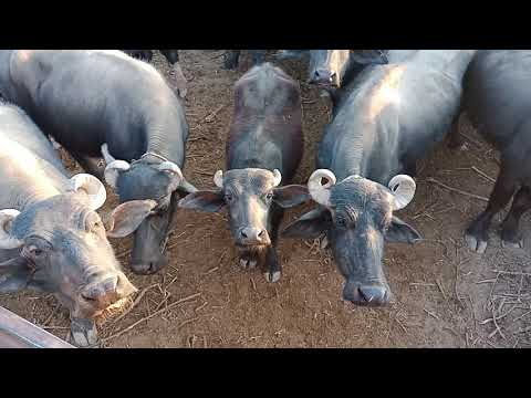 Repeat Kutch banni buffalo for sale Mo: 9638492592 by