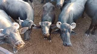 Download Banni Buffalo Sales In Banni Gujrat Kutch 8347718954
