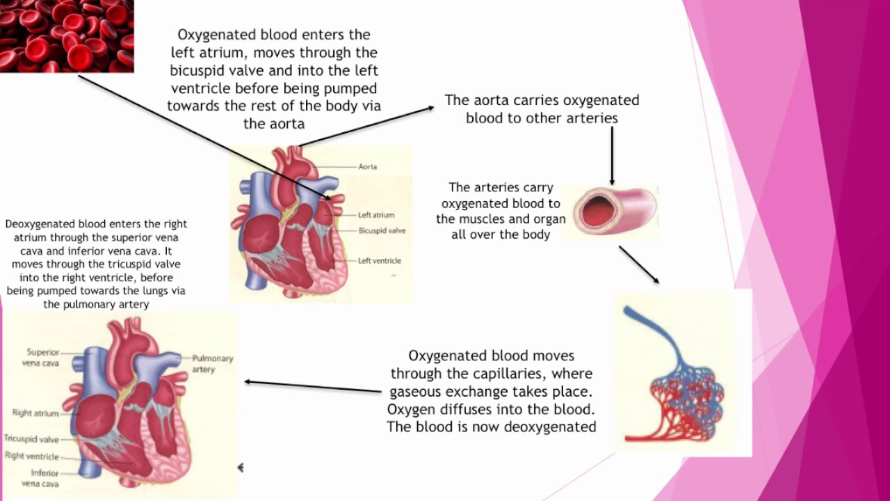 Gcse pe lesson 16 how the cardiovascular respiratory systems gcse pe lesson 16 how the cardiovascular respiratory systems work together ccuart Images