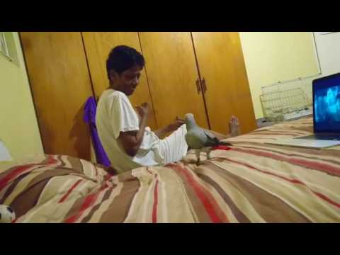 African Grey Parrot attacks lady!