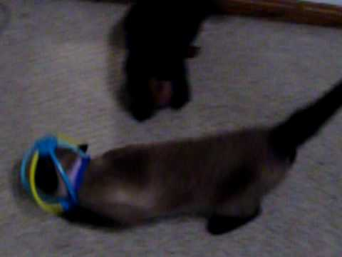 Funny Stupid Cat Gets Head Stuck in Toy Ball