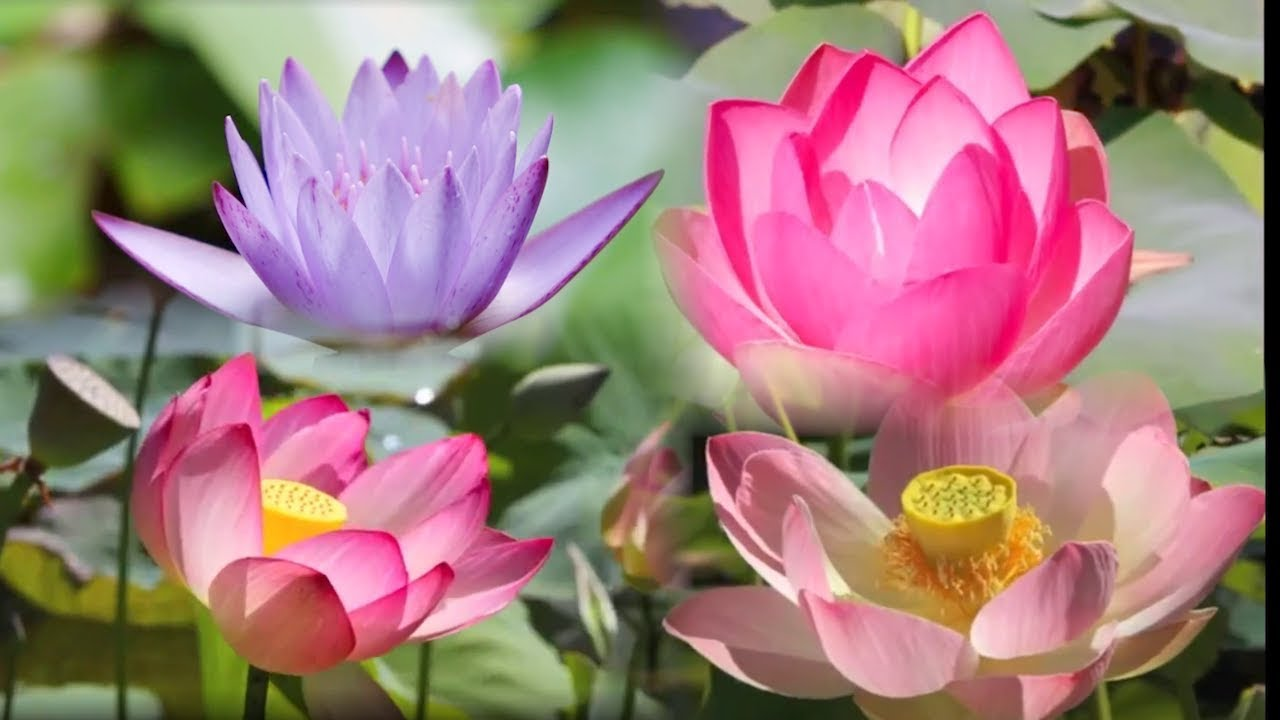 Lotus flower blooming time lapse fast motion instrumental music lotus flower blooming time lapse fast motion instrumental music izmirmasajfo