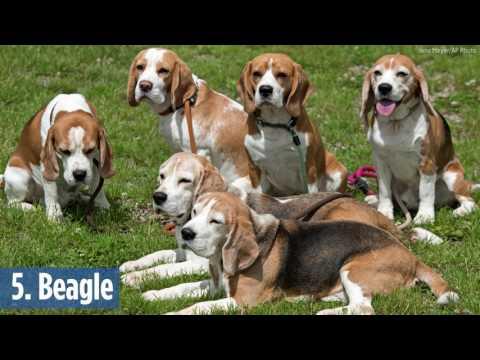 2016 most popular dog breeds